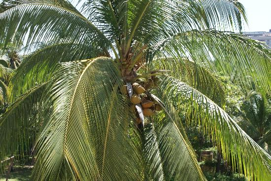 Pierre Mundo Imperial: A coco palm on the property