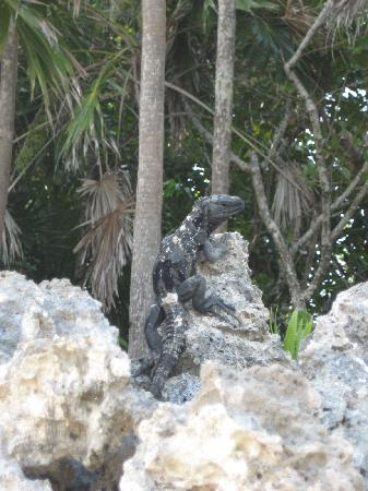 Henry Morgan Beach Resort: iguana..sulla spiaggia