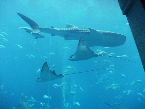 Atlantis, The Palm: Whale Shark in the 10 metre high glass walled fishtank.