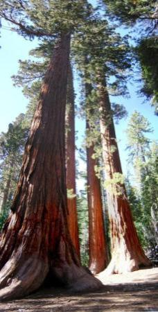 Mariposa Grove of Giant Sequoias: Redwoods at Yosemite