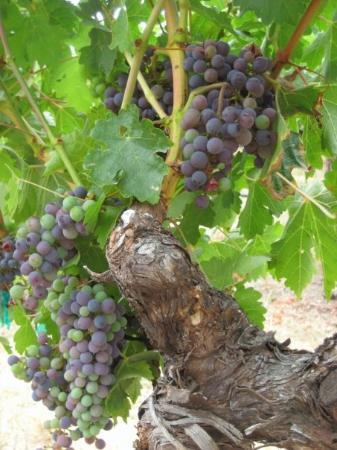 Sonoma, CA: Grapes on the vine ~ Beringer