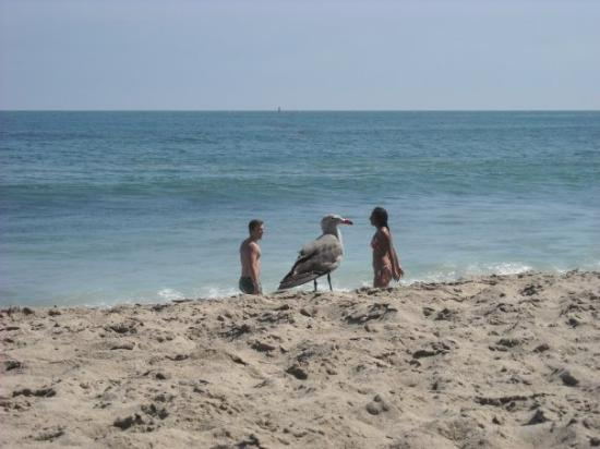 Malibu Lagoon State Beach: That is one massive seagull.