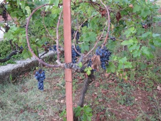 Prizba, Kroatia: grapes growing in front of my cousin's house...no biggie