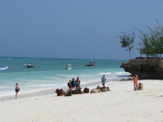Zanzibar, Tanzania: Kravice na plaži, da ni dolgčas