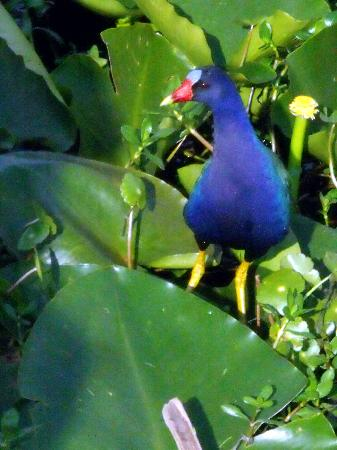 Captain Fred's Airboat Nature Tours: Purple Gallinule in a lily pad