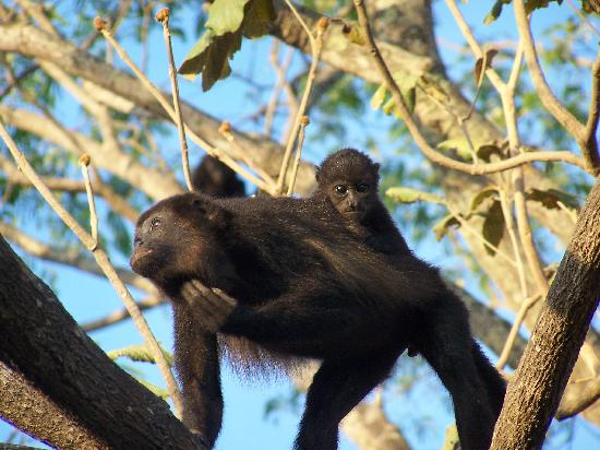 El Sabanero Eco Lodge: monkeys at the hotel