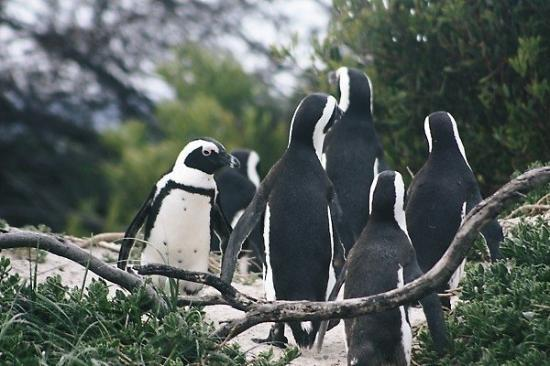 Boulders Beach: Penguin Limbo