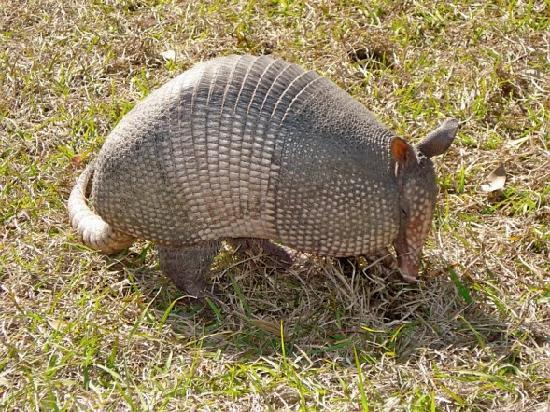 Tuscana Resort: Armadillo roaming the grounds