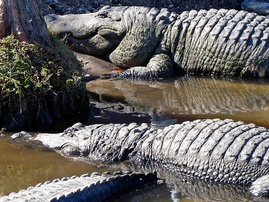 Tuscana Resort: Big ole Gators at GatorLand