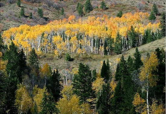 Coeur d'Alene, ไอดาโฮ: A stand of Aspens on the Idaho and Wyoming Border