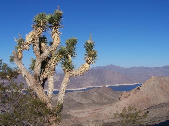 Meadview, AZ: Meadville, AZ USA Joshua Tree