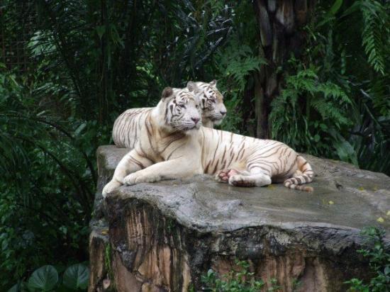 White Tigers - Singapore Zoo