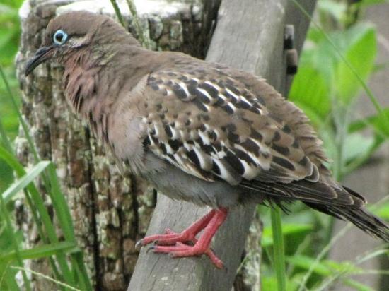Puerto Ayora, Ecuador: galapagos dove