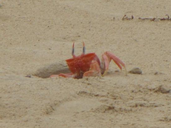 Puerto Ayora, Ecuador: if u didnt know, sand crab.....