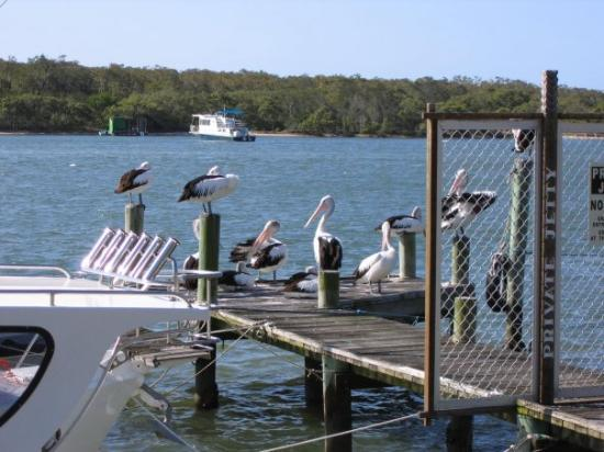 Pelicans on one of the many jettys on Noosa River