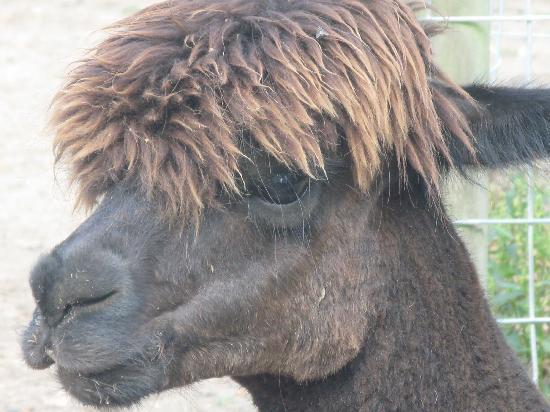 Druidstone Park: brown alpaca