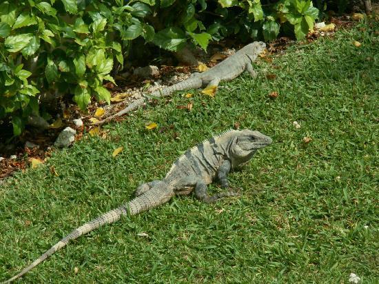 Luxury Bahia Principe Akumal Don Pablo Collection: Nos amis les iguanes, ils sont partout..