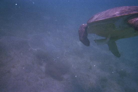 Three Corners Fayrouz Plaza Beach Resort: tartaruga embricata