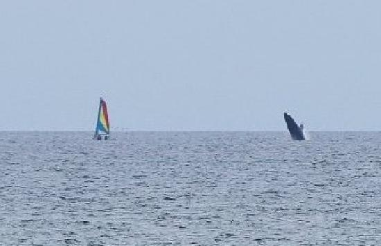 Grand Palladium Vallarta Resort & Spa: Whale watching from our chairs on the beach!