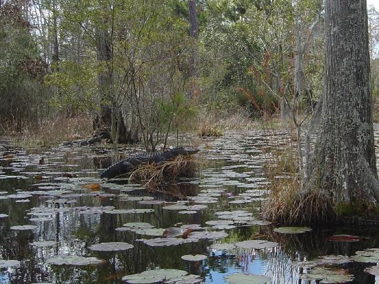 Cypress Gardens: Alligator