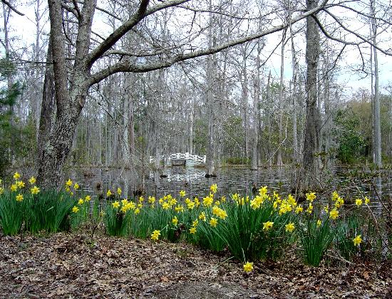 Cypress Gardens: Trail Bridge with Daffodils