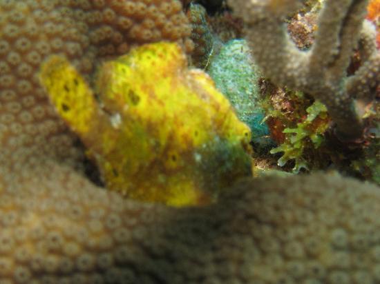 Buddy Dive Resort: frogfish