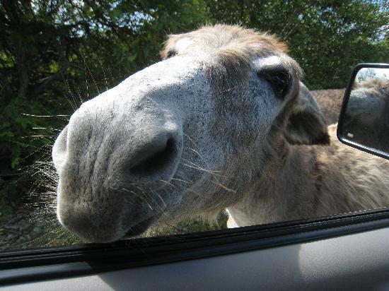 Buddy Dive Resort: One of the wild donkeys