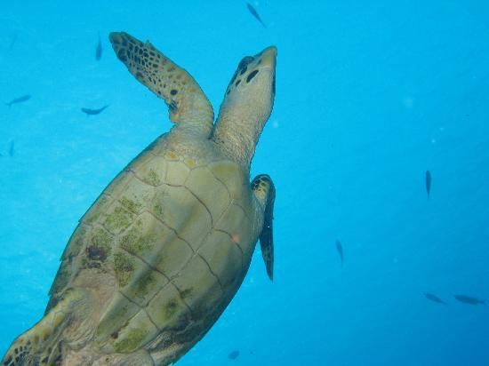 Buddy Dive Resort: turtle going up for air