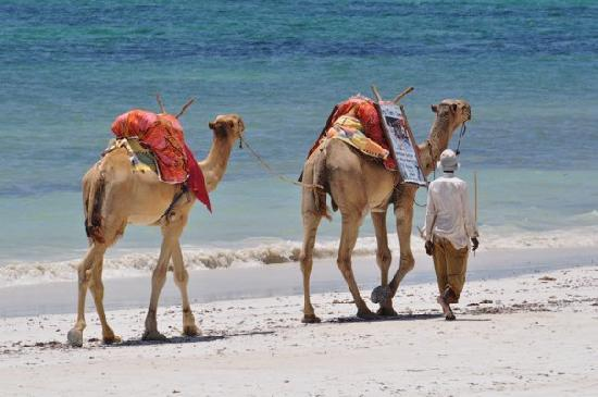 Diani Blue: Camels on the beach.