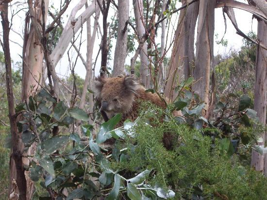 Go West Tours: Koala munching eucalyptus