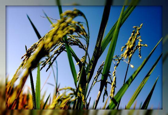 Ketekung Bungalow: paddy rice