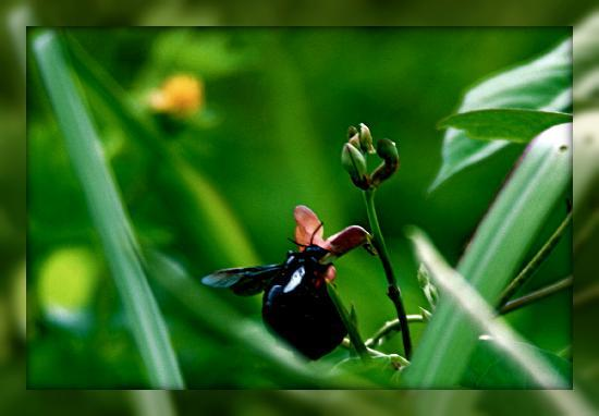 Ketekung Bungalow: buzzing bee
