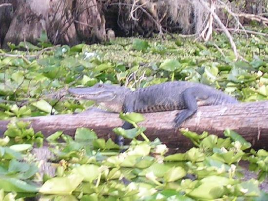 Welaka Lodge & Resort: Gator sighting
