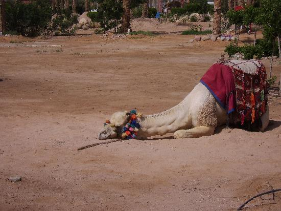 Coral Sea Holiday Village: Bobby the camel