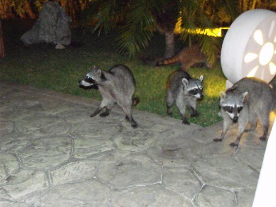 Sandos Caracol Eco Resort: Racoons