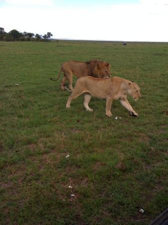 Mombasa, Kenya: Lions on the prowl in Masai Mara
