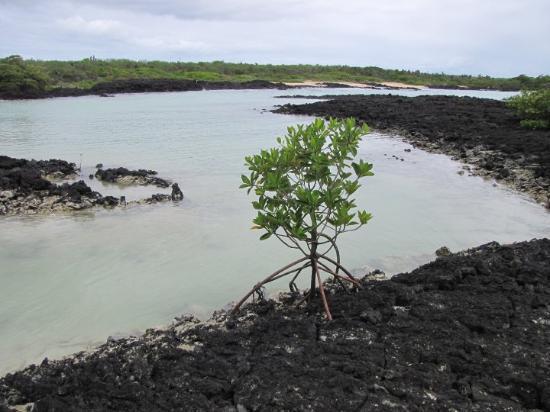 Puerto Ayora, Ecuador: mango tree finding a way to set roots in lava rock
