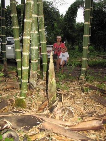 Puerto Ayora, Ecuador: ba,boo growing