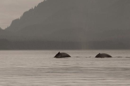 Juneau, AK: Humpback whales, I was told, bring their newborns to Alaska to feed on the herring.