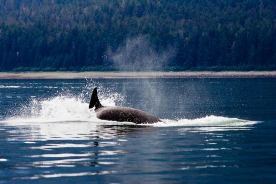 Harv and Marv's Outback Alaska: This is about the closest we got to the orca.  This one was trying to catch up to the pod and wa