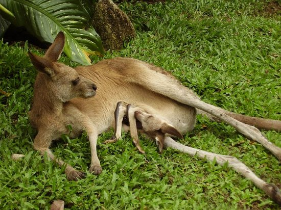 Kuranda, Australia: Roo with joey