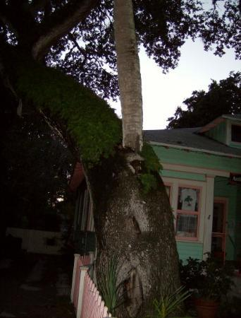 St. Augustine, FL: the LOVE tree, supposedly if you kiss under the love tree you're marriage will last. . . we alre