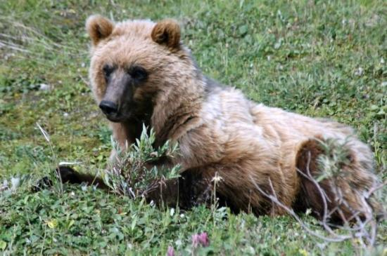 Talkeetna, AK: Grizzly bear cub