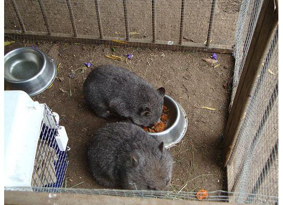 Trowunna Wildlife Sanctuary: baby wombats