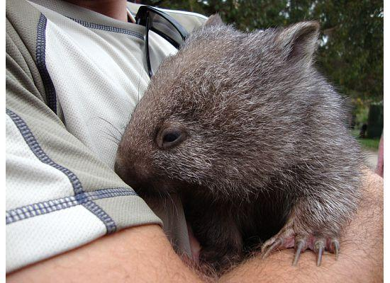 Trowunna Wildlife Sanctuary: holding a baby wombat