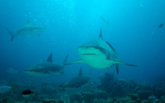 Barefoot Cay Resort: Reef sharks on the sharkdive