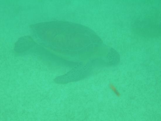 Edventure Tours: Turtle in Akumul Bay