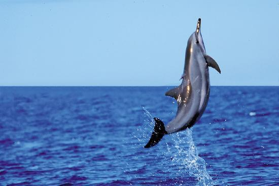 PacWhale Eco-Adventures: Encounter wild dolphins on a thrilling Wild Dolphin Watch.