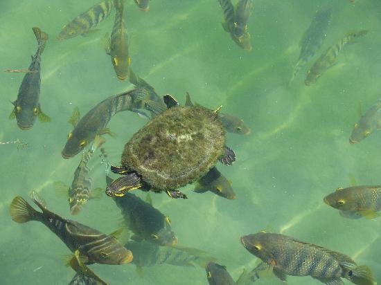 Fairmont Mayakoba: Fish and turtles at the Laguna Restaurant lake