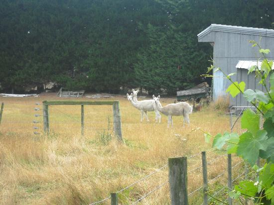 Menteith House: Llamas